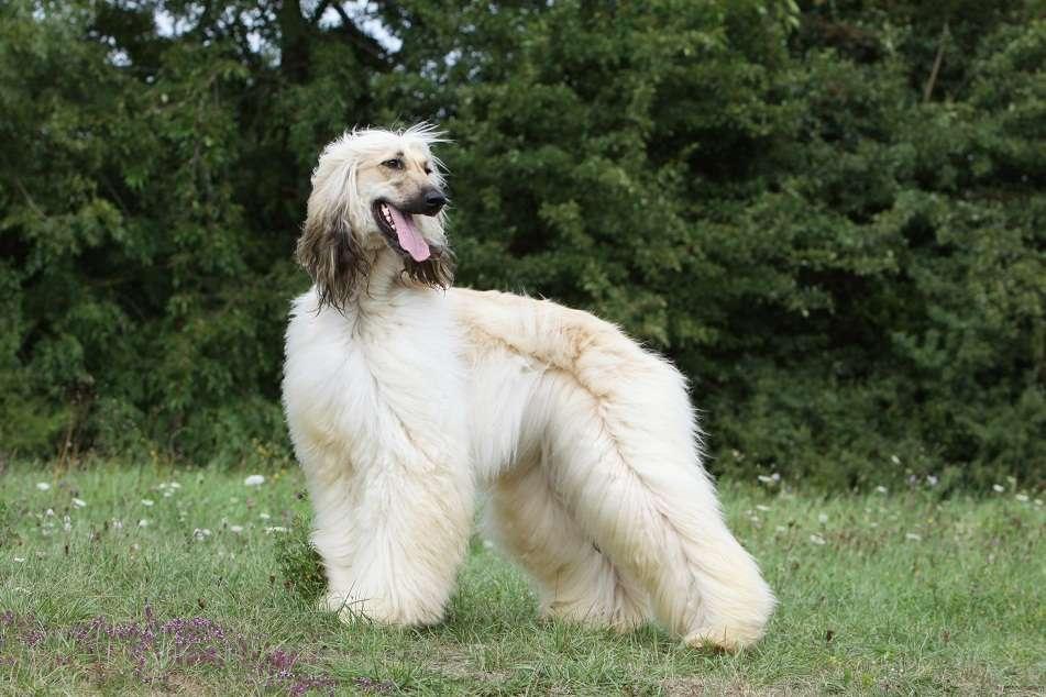 pretty afghan hound in the wind