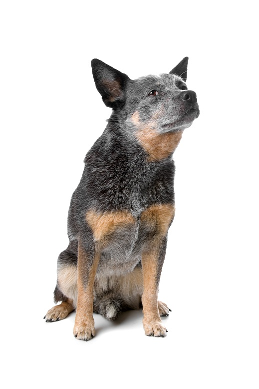 australian cattle dog (kelpie) isolated on a white background