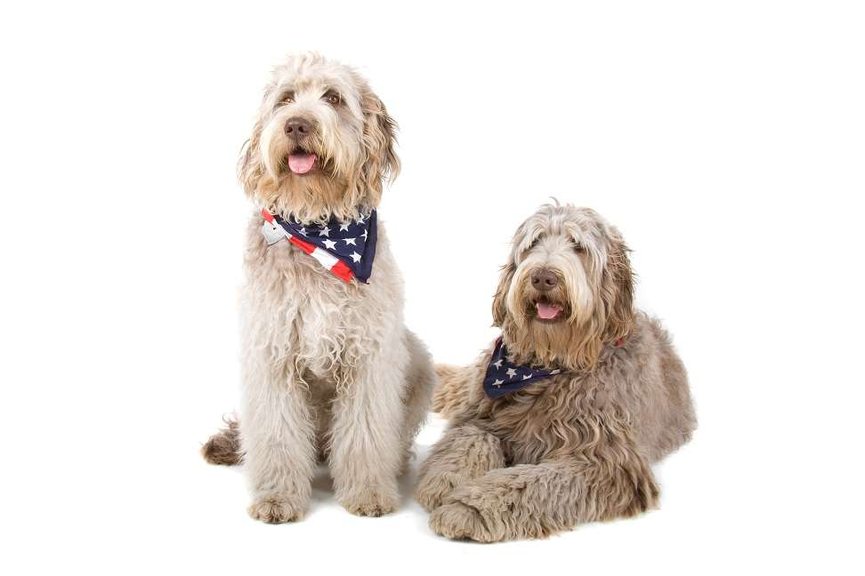 two labradoodle dogs isolated on a white background