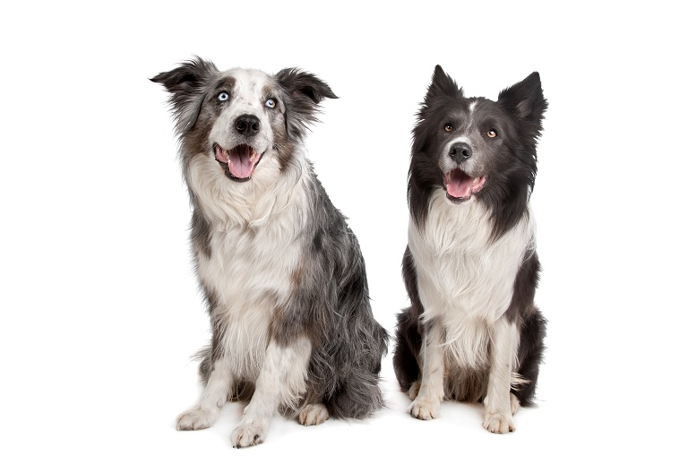 Border Collie and Australian Shepherd