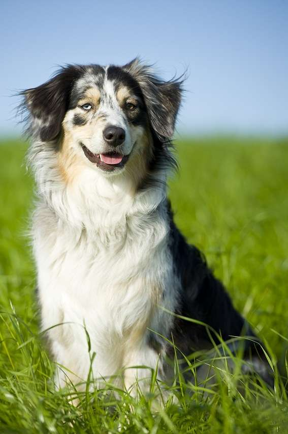 Border collie australian shepherd mix traits myideasbedroom com