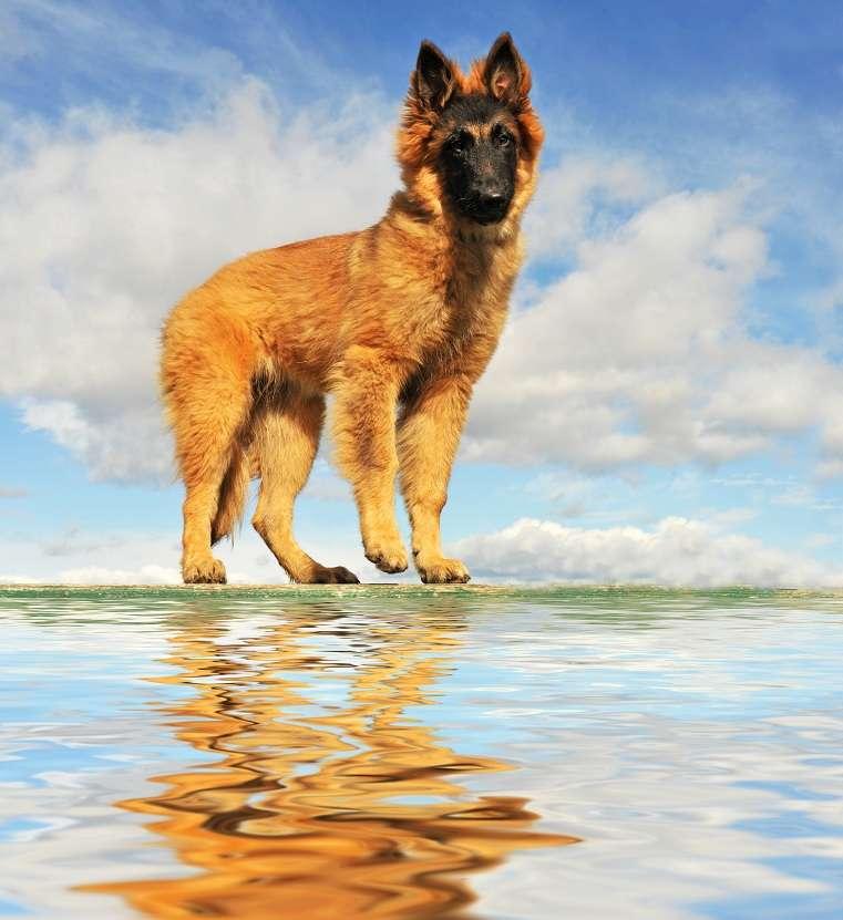 chiot tervueren au bord de l'eau