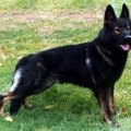 Black Sable German Shepherd Dog