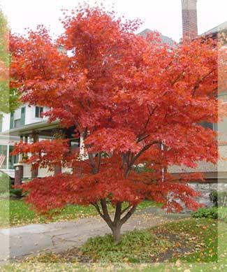 Bloodgood Japanese Maple