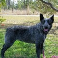 Blue Australian Stumpy Tail Cattle Dog