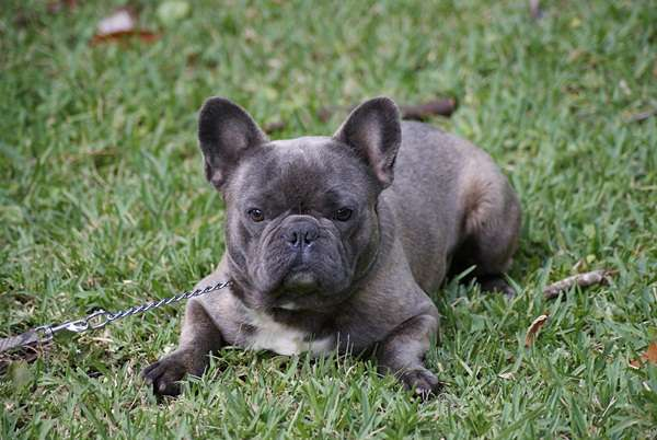 Blue French Bulldogs | Globerove