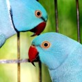 Blue Indian Ringnecks