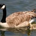 Branta Canadensis- Canada Goose