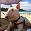 Breeders of Bull Terriers in Australia