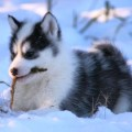Canadian Eskimo Dog Breeders