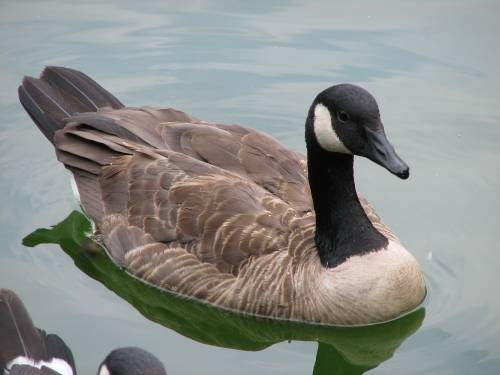 Canadian Geese Facts