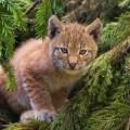 Canadian Lynx Breeder