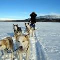 Canadian Sled Dog