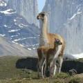 Chilean Animals