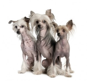 NO.1#THE CHINESE CRESTED DOG BREED INFORMATION GUIDE