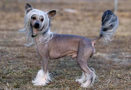 Chinese Crested Dog Calendar