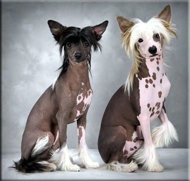 Chinese Crested Hairless