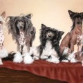 Chinese Crested Kennels