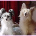 Chinese Crested With Hair