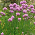 Chives Chinese Medicine