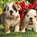 Choosing An American Bulldog Puppy