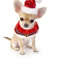 cute Chihuahua puppy with Santa costume