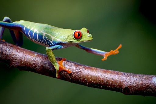 Red Eyed Cuban Tree Frog