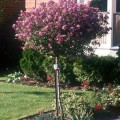 Dwarf Korean Lilac Tree Care