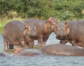 Egyptian Hippos