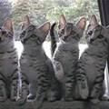 Egyptian Mau Breeders