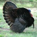 Francis Marion Wild Turkey