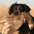 French Brittany Hunting Dogs