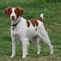 French Brittany Spaniels