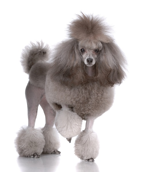 Portrait of poodle