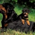 German Rottweiler Breeders