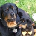 German Rottweiler Females