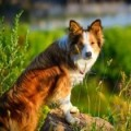 Gold Australian Red Border Collies