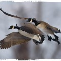 Guided Canada Goose Duck Hunting