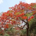 India Trees Red Flowers