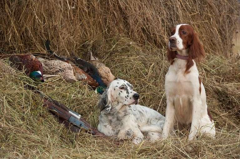 Irish setter breeders