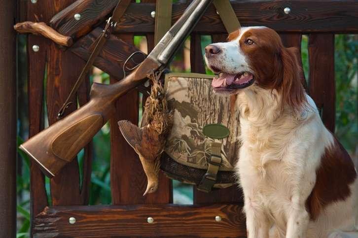 Irish setter stud dogs