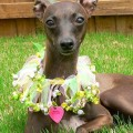 Italian Greyhound Adoption