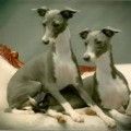 Italian Greyhound Breeders