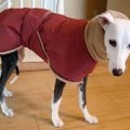 Italian Greyhound Coats