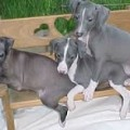 Italian Greyhound Colors