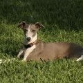 Italian Greyhound Information