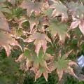 Japanese Maple Tree Diseases