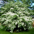 Korean Dogwood