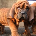 Korean Mastiff