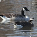 Lesser Canadian Geese